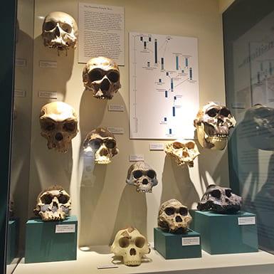 Skulls in a museum case