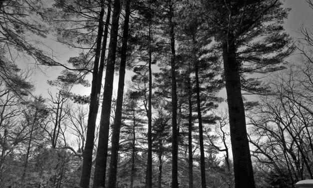 'Every Little Pine Needle'