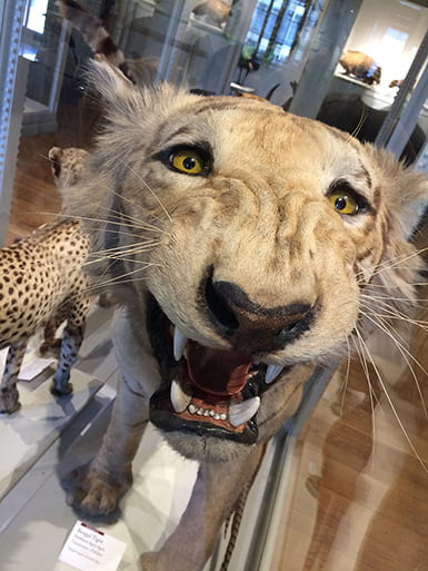 Taxidermied Bengal tiger posed snarling