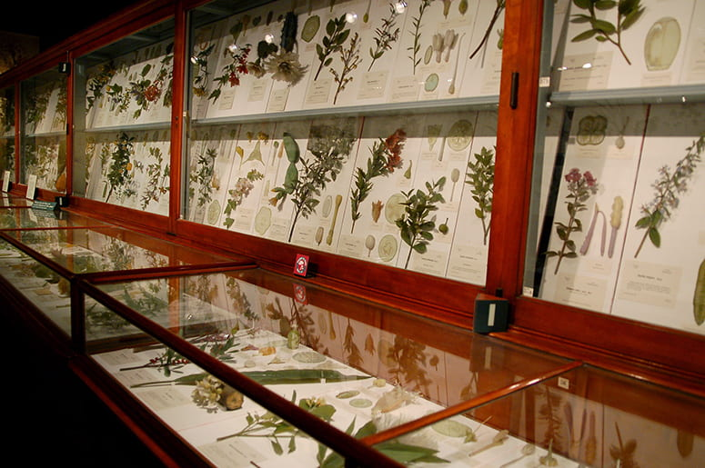 Glass flower replicas in their display cases