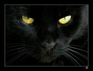 Muso di gatto nero e occhi gialli