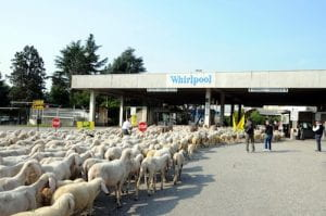 Pecore alla Whirlpool