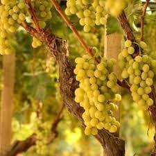 Settembre, il mese dell'uva