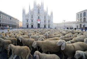 Gregge di pecore in Piazza Duomo a Milano