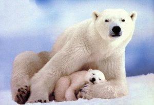 Orsa polare con cucciolo