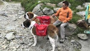 Una donna tiene al guinzaglio due cani San Bernardo.