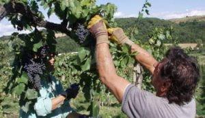 Uomo taglia un grappolo d'uva in un vigneto.