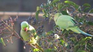 Due pappagalli verdi su un ramo.