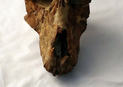Paradolichopithecus cranium