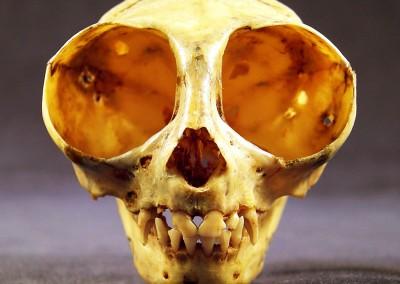 Owl Monkey Skull