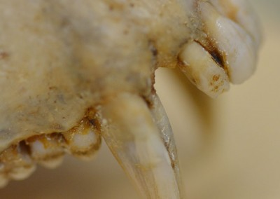 Macaque anterior dentition