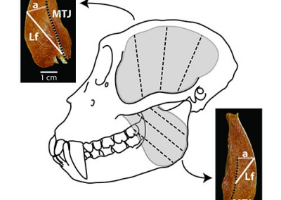Macaque muscle architecture protocol (from Terhune et al., 2015)