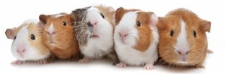 Guinea Pigs Galore: Group Dissection and Timelapse