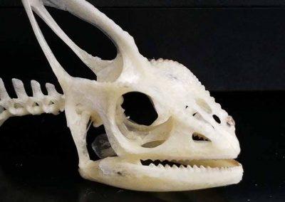 Veiled chameleon skeleton - photo#42