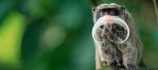 Peculiar Primates: Emperor Tamarins