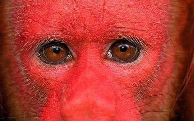 Peculiar Primates: Bald-headed Uakaris