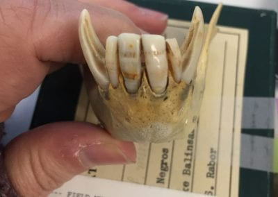 The lines on this macaques incisors indicate that it experienced periods of malnutrition and/or stress during growth