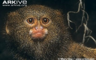 Peculiar Primates: Pygmy Marmosets