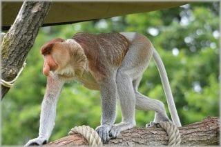 Peculiar Primates: Proboscis Monkeys