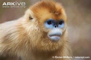 Peculiar Primates: Snub-nosed Monkeys