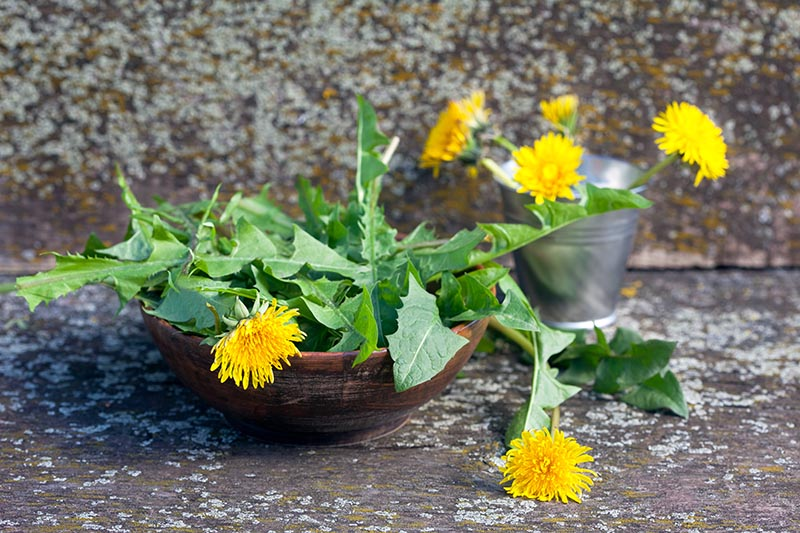 4 Reasons to Love Dandelions