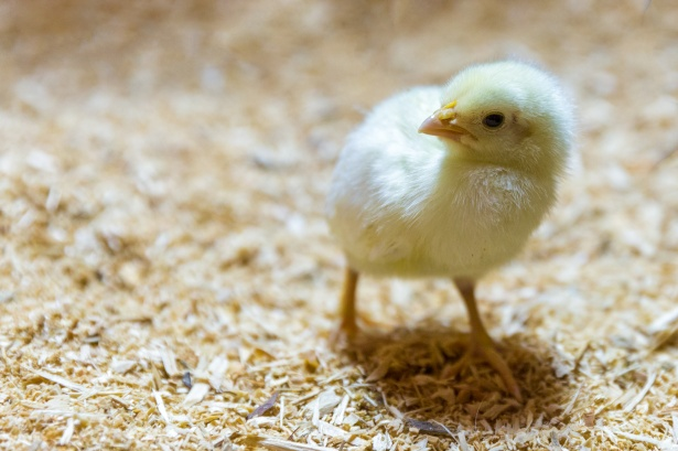 Farm raised, Free Range, or Frozen? Navigating the Modern Chicken Market