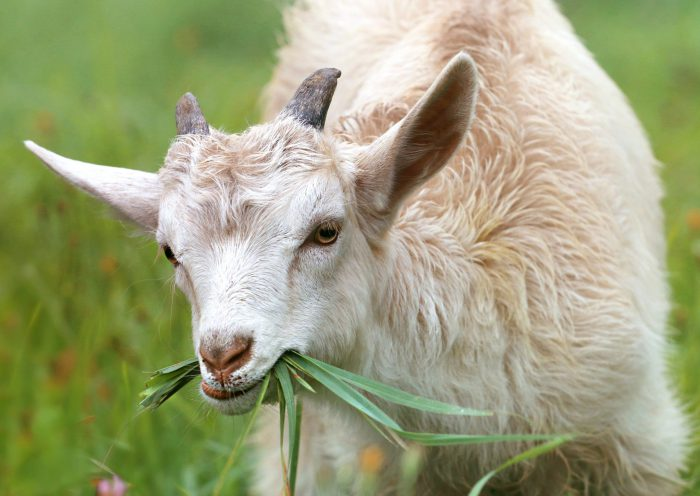 Goats on Campus: OFS Hires the Herd to fight Invasive Plants
