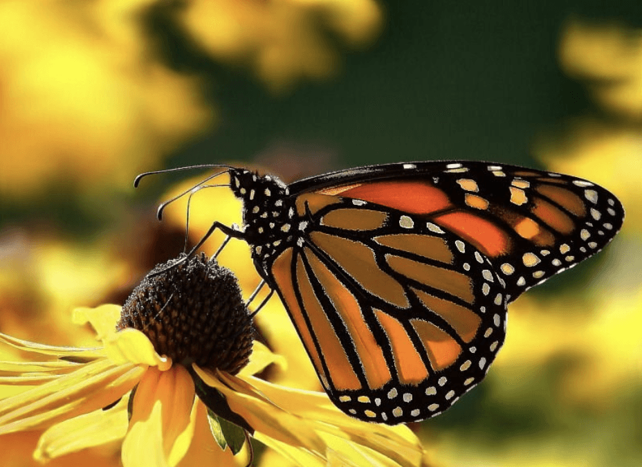Celebrate Beautiful Butterflies