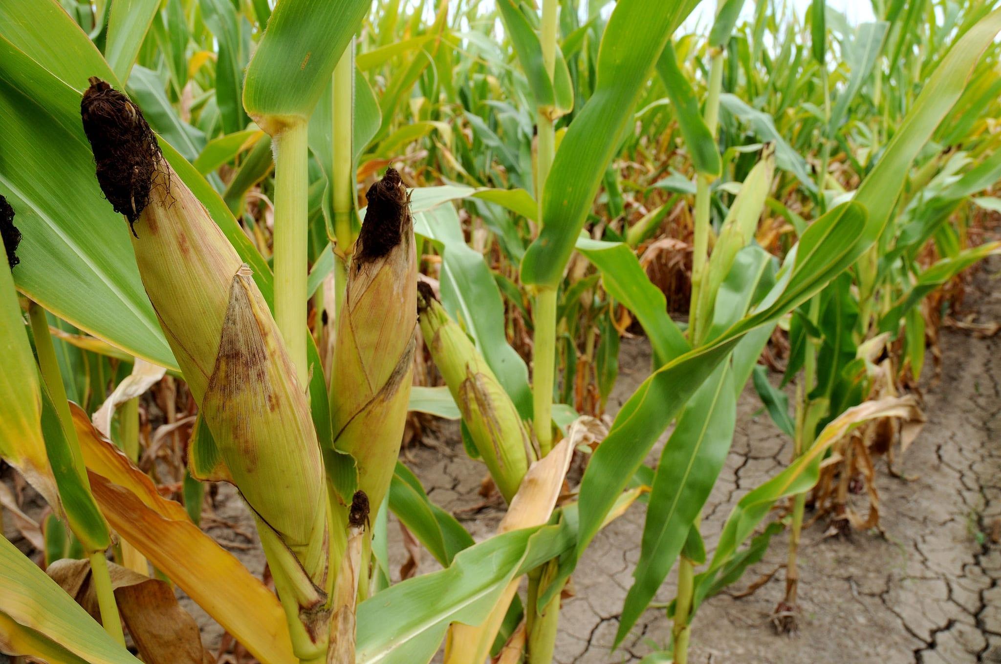 corn-large