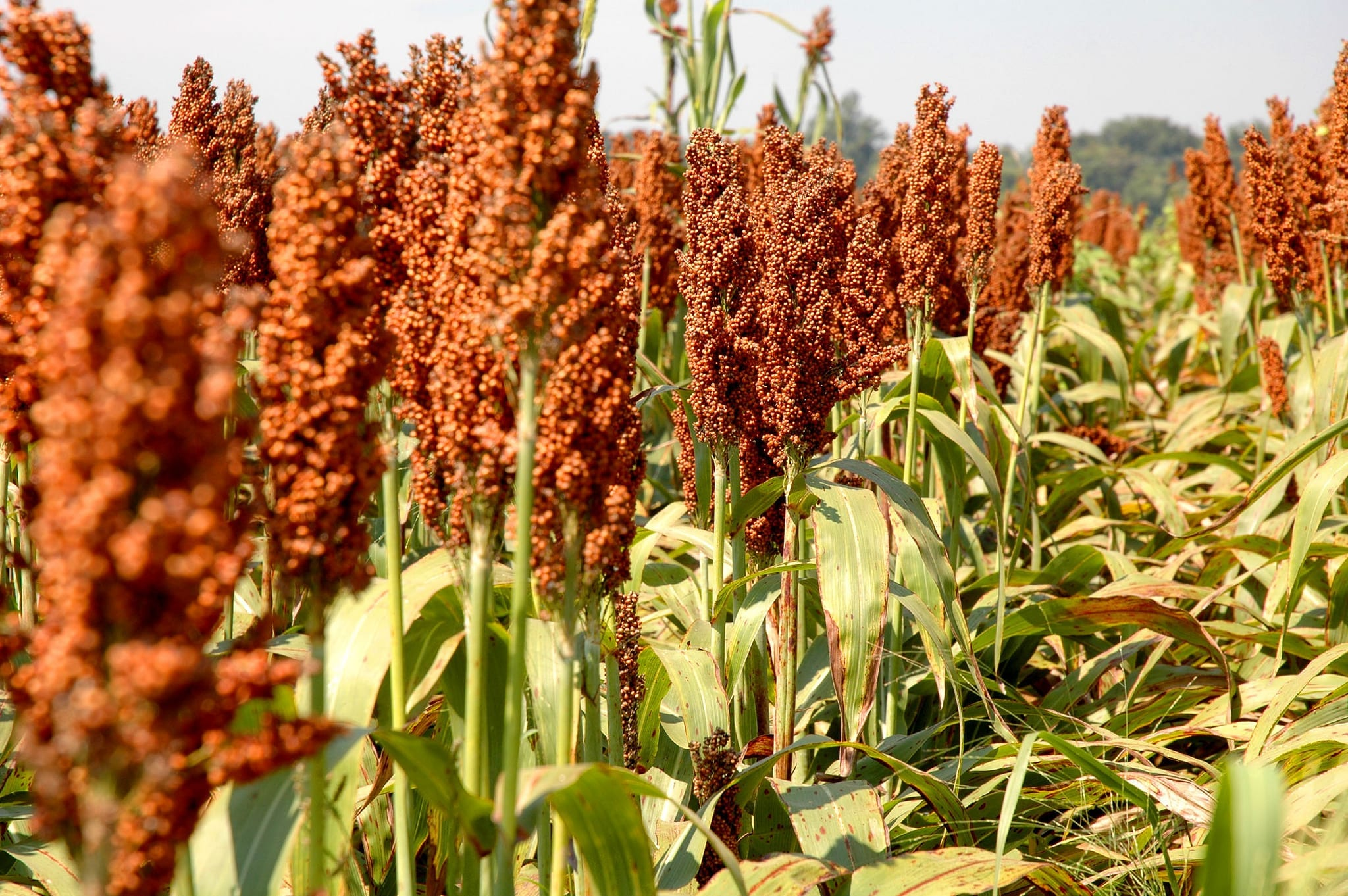 grain-sorghum-large