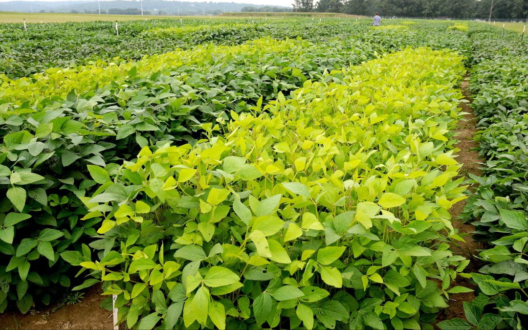 Genetic discovery may improve soybean drought tolerance