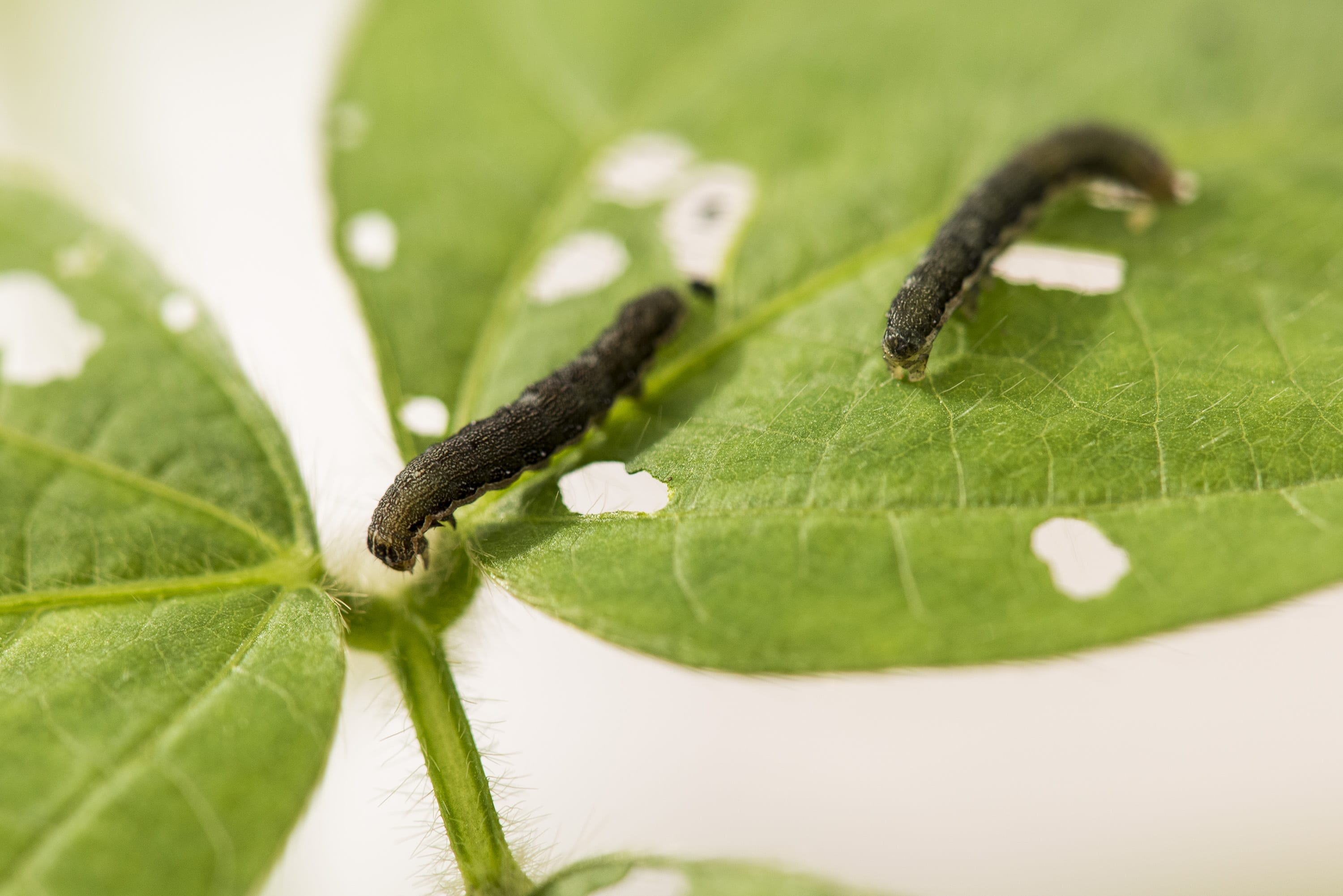 Armyworms on Soybeans