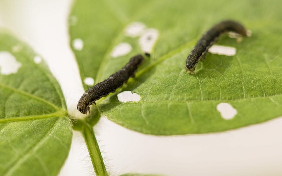 Scientists investigate intersection of salt, insect stress in soybeans