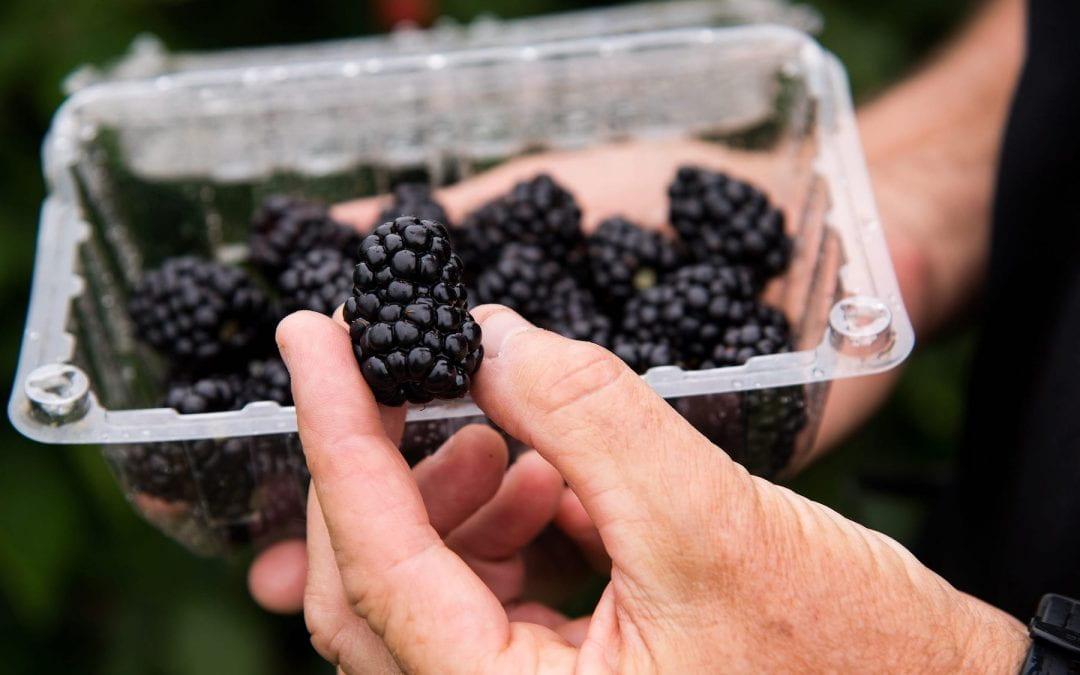 Primocane blackberries open new markets for fruit growers