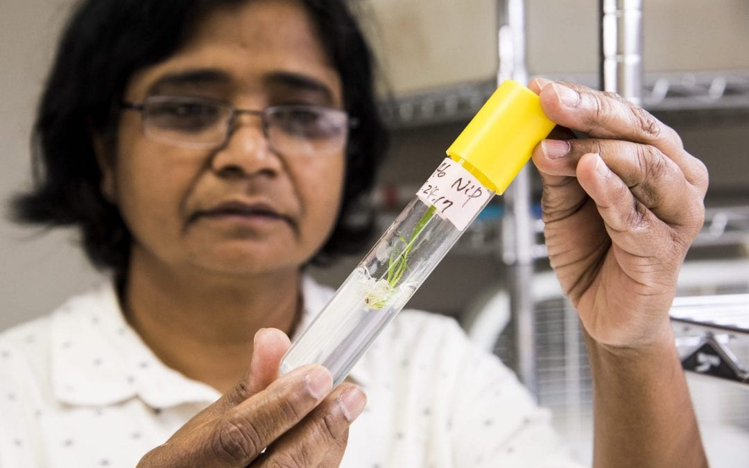 Researchers add gene editing to rice research toolbox