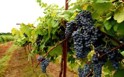 Producing Enchantment, Arkansas' first grape for red wine