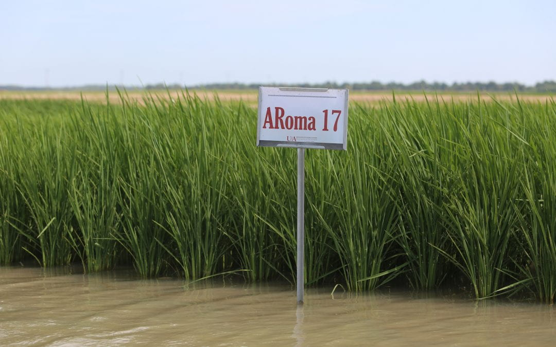 ARoma17 gives growers, foodies a domestic alternative for high-yielding fragrant rice