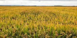 long-grain-rice-variety