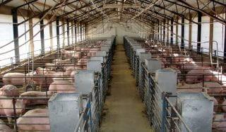 swine feed