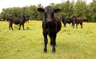 Spring-Calves