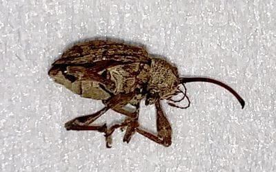 Pecan Weevil