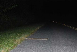A Burmese python crosses the main road in Everglades National Park during a nighttime survey conducted by a team of scientists studying the secretive snake. | Photos courtesy of John D. Willson