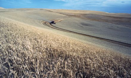 Old Habits Die Hard for Wheat Growers