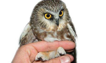Biologists Capture, Document Elusive  Northern Saw-whet Owls in Arkansas