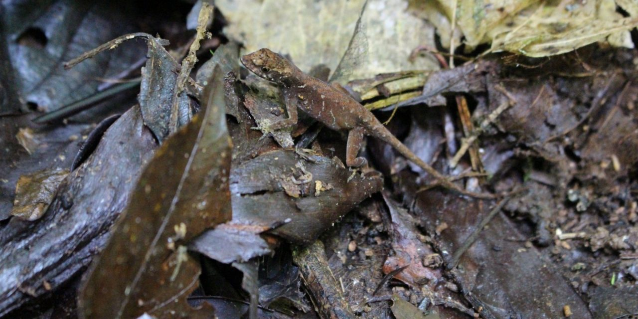 Losing Leaf Litter Lizards