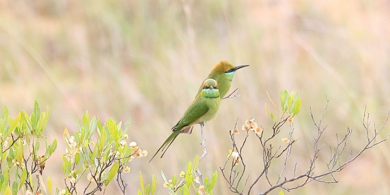 Bulbuls and Babblers, a Bee-Eater and More