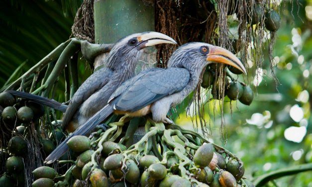 Honing in on Hornbills