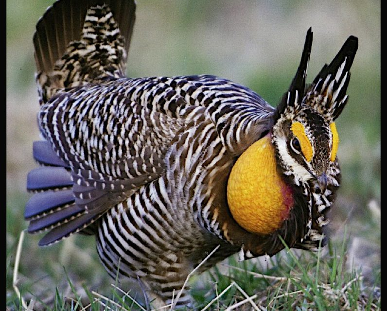 The Plight of the Greater Prairie Chicken