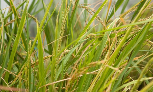 Career Award Supports Sustainable Rice Farming Work