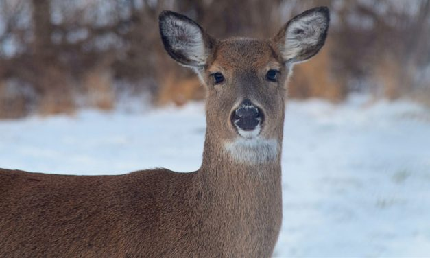 Biologists Use Genetic Testing to Manage Chronic Wasting Disease in Deer